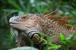Wildlife refugees - Iguana
