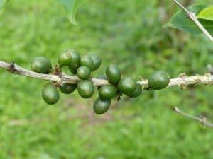 Costa Rica's green coffee