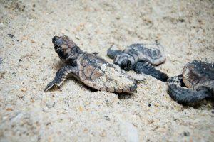 Turtle nesting in Costa Rica